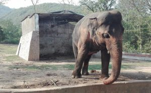 Urgent Help  Needed To Relocate Kaavan The Elephant To Cambodian Sanctuary