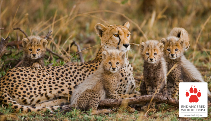 Celebrating conservation successes this International Cheetah Day